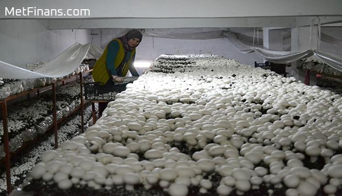 kültür mantarı üretim tesisinde kullanılacak çadır nasıl seçilir?
